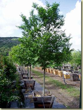 Trees at Bruce Miller Nursery